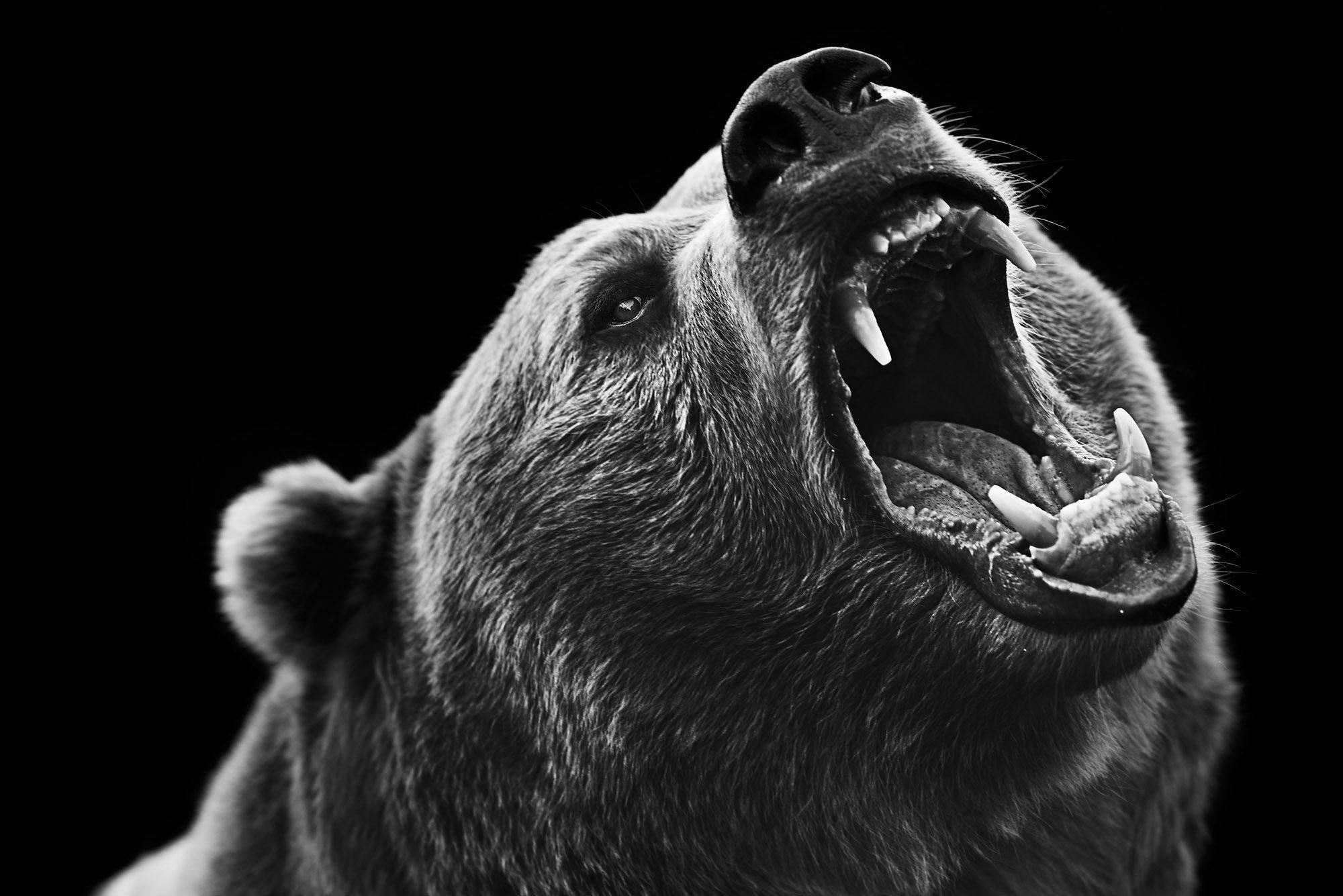 Картинки медведя с оскалом